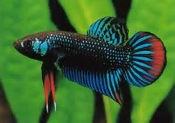 Breeds types species splendidbettasplendens for Fish that get along with betta